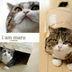 Maru the Cat Book